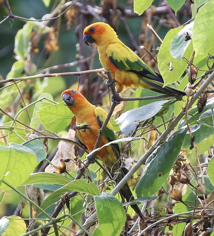 Sun Parakeet_Aratinga solstitialis_Guyana_Ascanio_199A7000