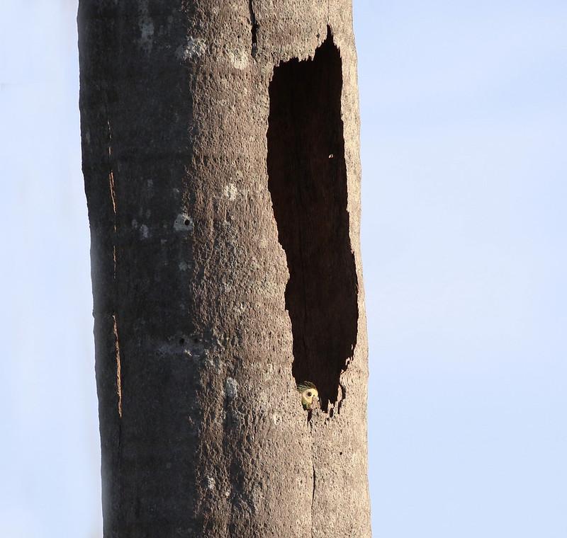 Red-bellied Macaw_Orthopsittaca manilatus_Guyana_Ascanio_199A8031