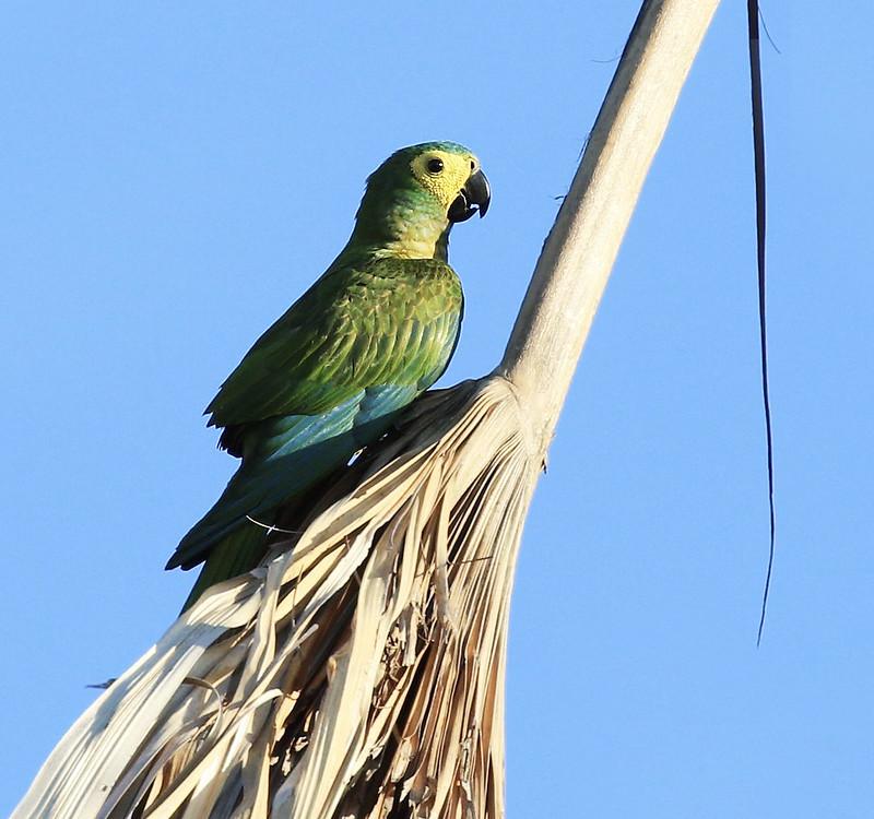 Red-bellied Macaw_Orthopsittaca manilatus_Guyana_Ascanio_199A7996