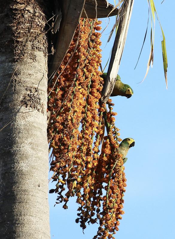 Red-bellied Macaw_Orthopsittaca manilatus_Guyana_Ascanio_ 199A8010