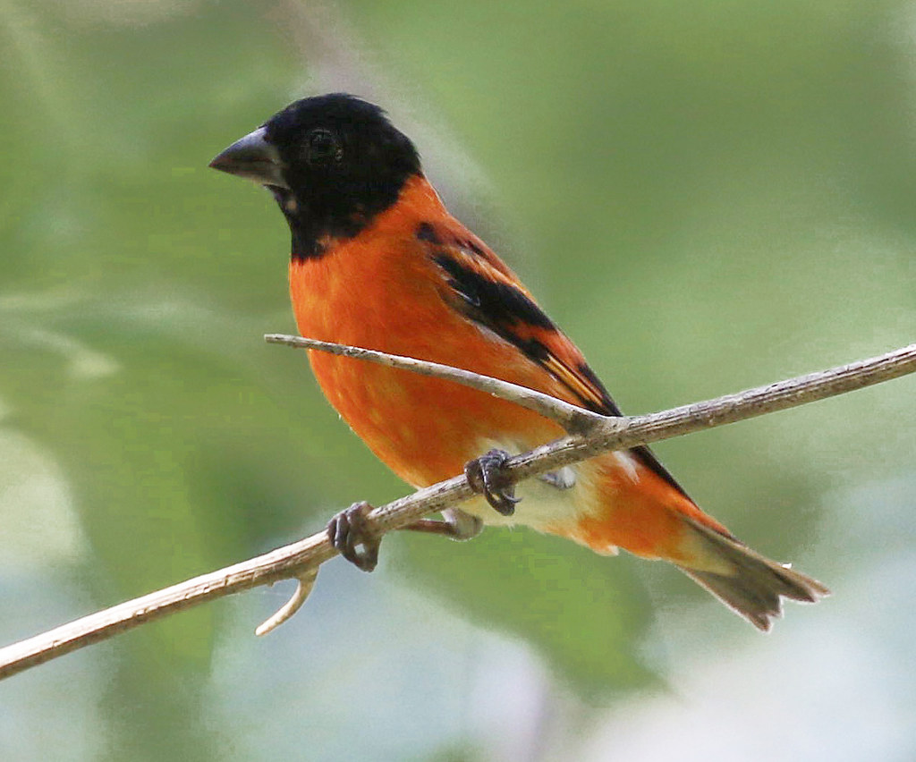 2019 VENT Guyana: supporting the Red Siskin Initiative