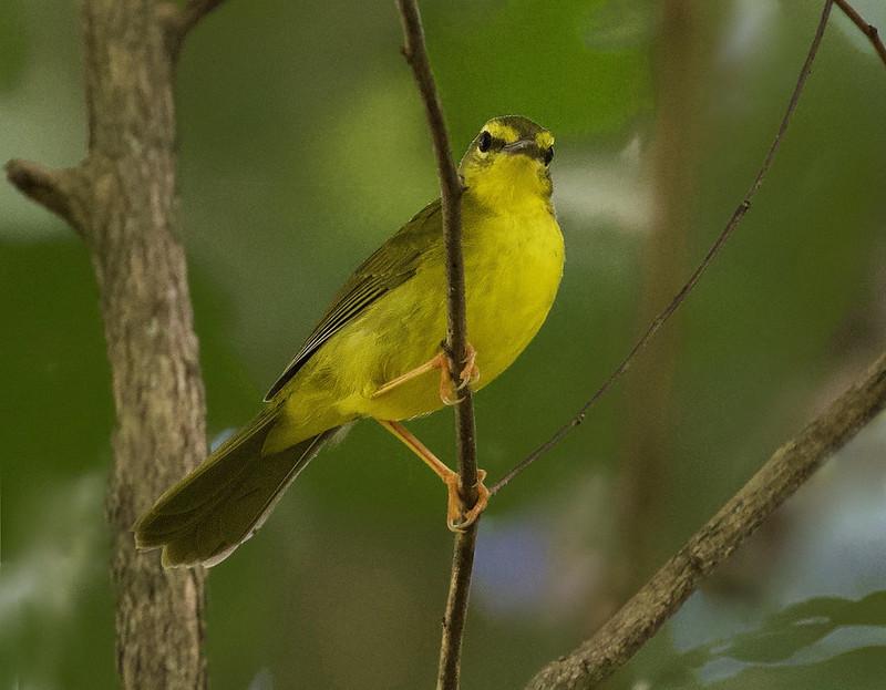 Flavescent Warbler_Myiothlypis flaveola_Ascanio_Guyana_199A7475