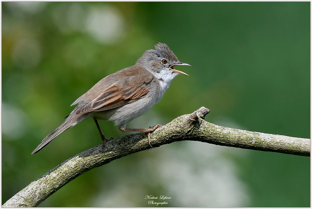Fauvette grisette ( Sylvia communis - Common Whitethroat )