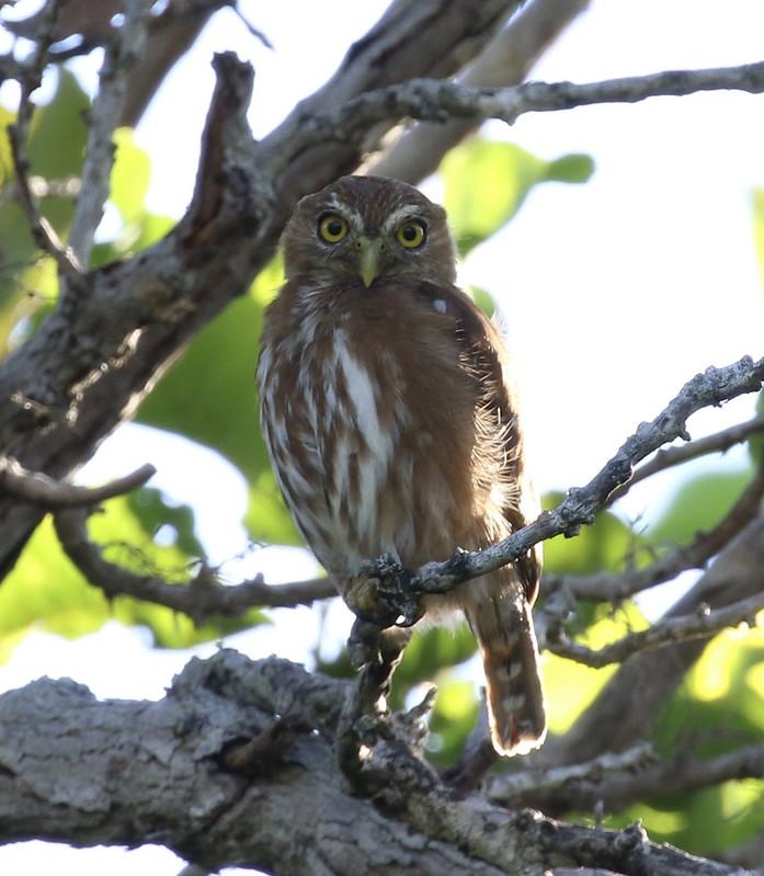 Ferruginous Pygmy-Owl_Glaucidium brasilianum_Ascanio_Guyana_199A8125
