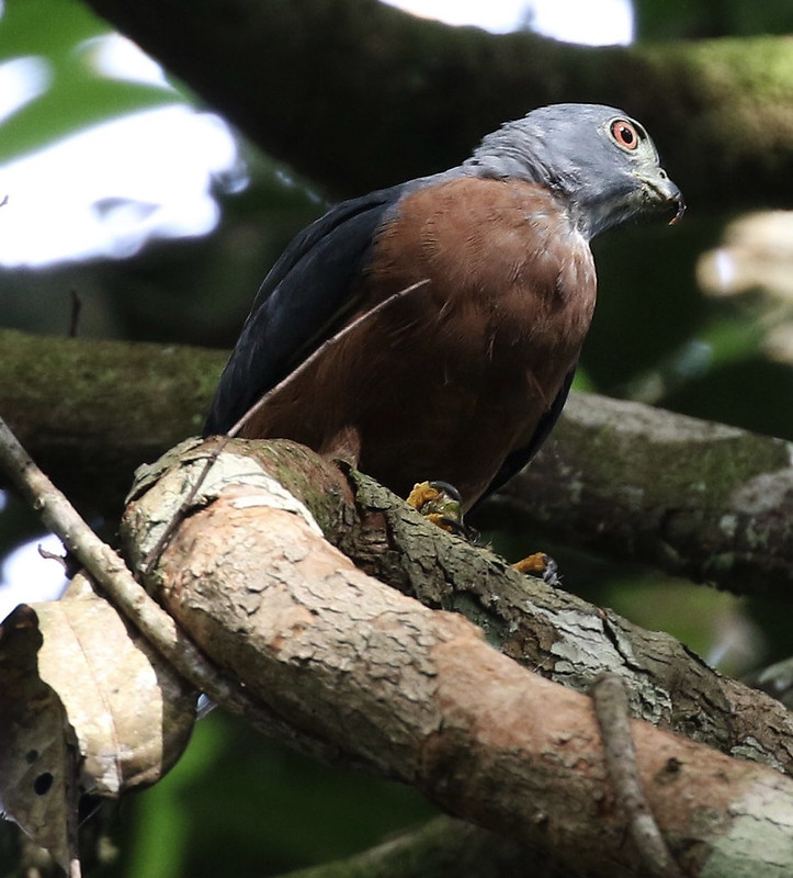 Double-thooted Kite_Harpagus bidentatus_Guyana_Ascanio_ 199A6399