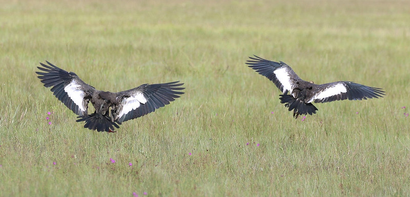 Buff-necked Ibis_heristicus caudatus_Ascanio_Guyana_199A7558