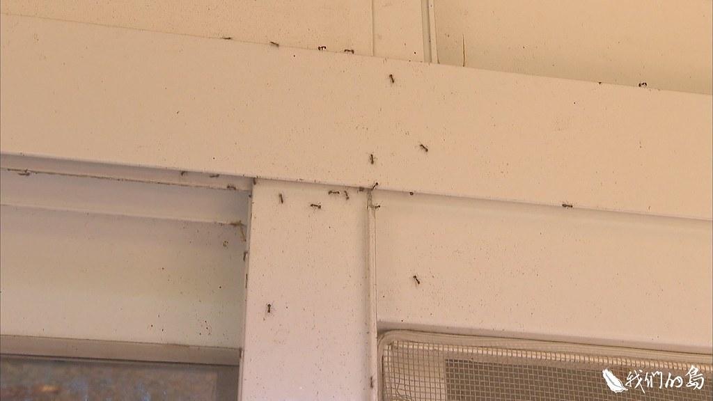 門窗的縫隙、電箱、監視器,都可能是琉璃蟻的築巢地點。