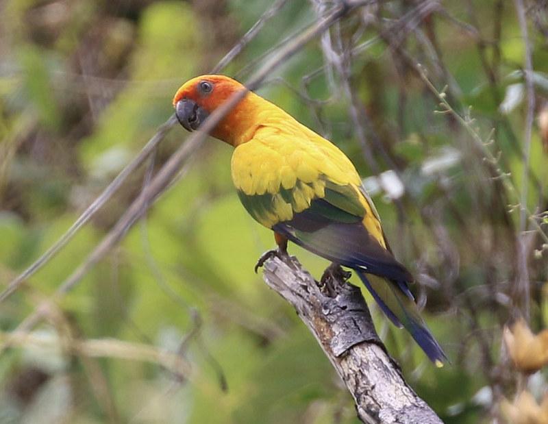 Sun Parakeet_Aratinga solstitialis_Guyana_Ascanio_ 199A6872