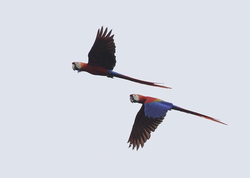 Scarlet Macaw_Ara macao_Guyana_Ascanio_199A6019
