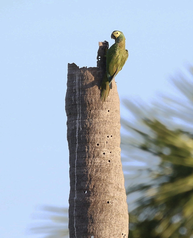 Red-bellied Macaw_Orthopsittaca manilatus_Guyana_Ascanio_ 199A7958