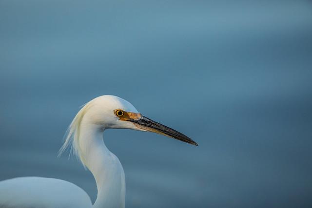 Close-up Egret