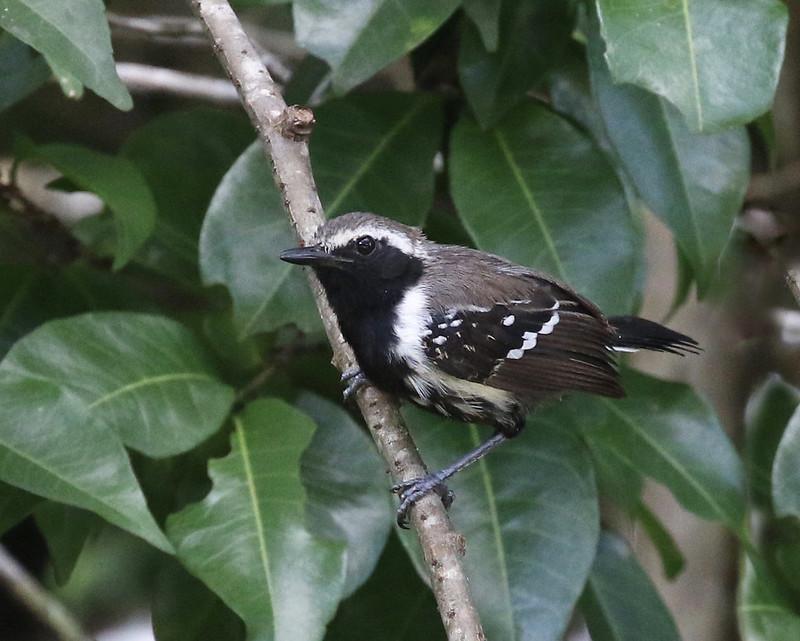White-fringed Antwren_Formicivora intermedia_Ascanio_Guyana_199A7243