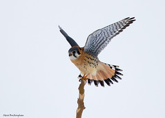 American Kestrel  (由  sbuckinghamnj