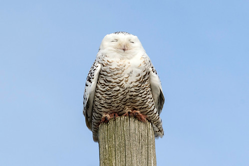 snowy owl having a nap after big meal