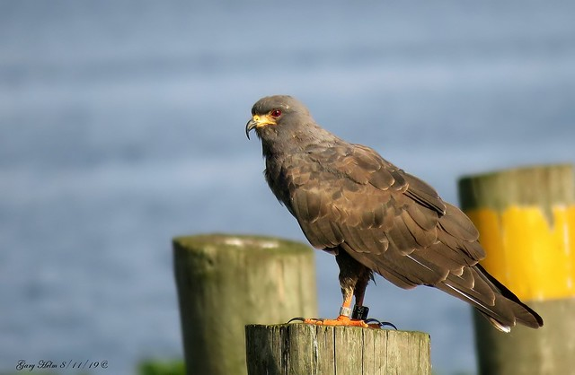 The Snail Kite (Rostrhamus sociabilis)