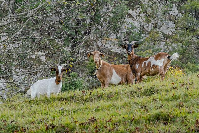 Goats at the organic farm