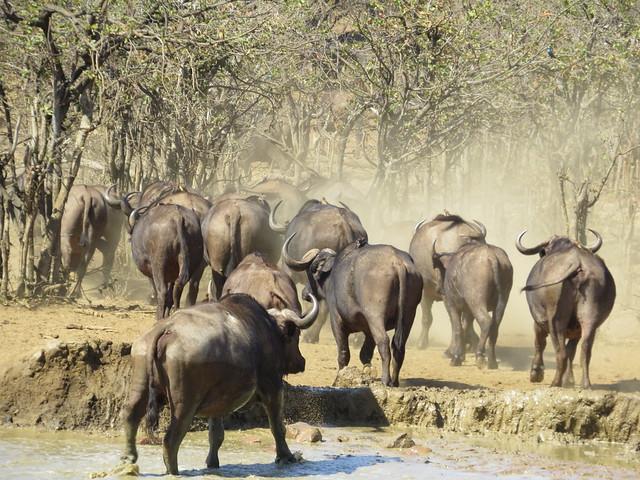 Cape Buffalo  /  Buffels