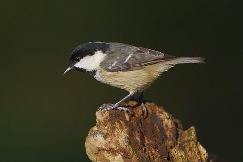 lackfordlakes periparusater suffolk bird coaltit nature wild wildlife