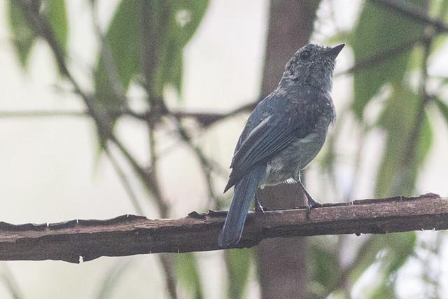 Turquoise Flycatcher