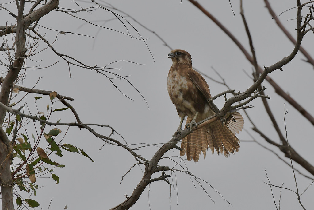 Brown Falcon  ( something on my tail )
