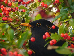 Male Blackbird among Pyracantha berries