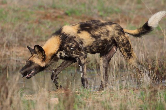 Wild dog, Ngala game reserve