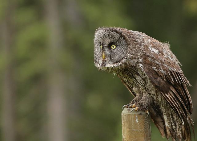Great Gray Owl...#14