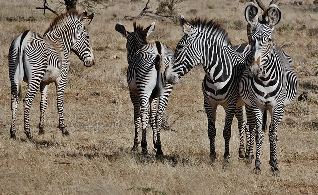 Dig Those Crazy Stripes!!! - Grévy's zebra (Equus grevyi)