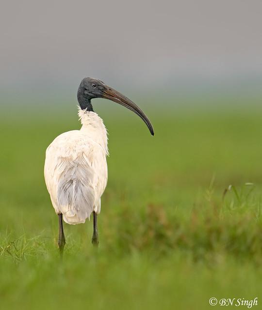 Black-headed Ibis / Oriental white ibis / Indian white ibis / black-necked ibis