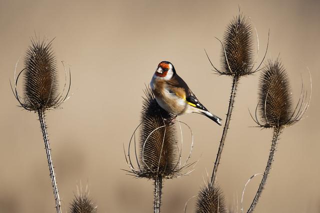 European Goldfinch (Carduelis carduelis) Steglits