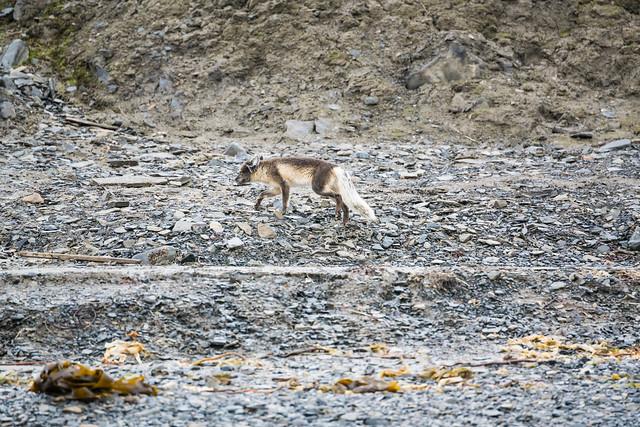 arctic fox going  away