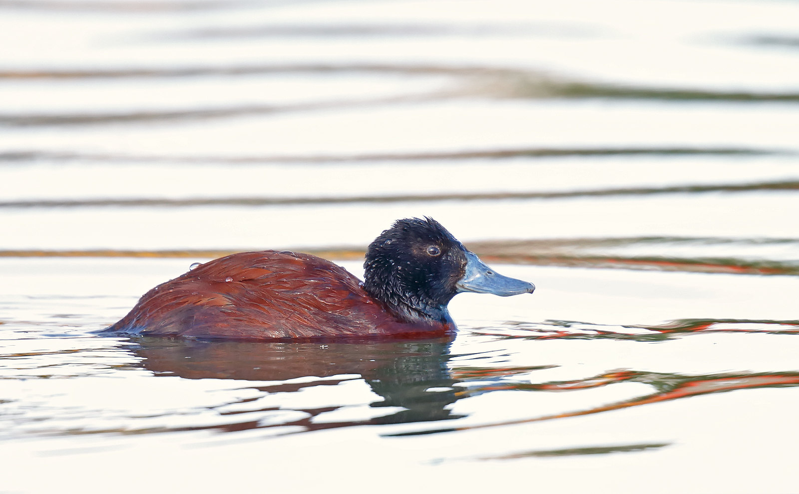 Lake Ruddy Duck - drake