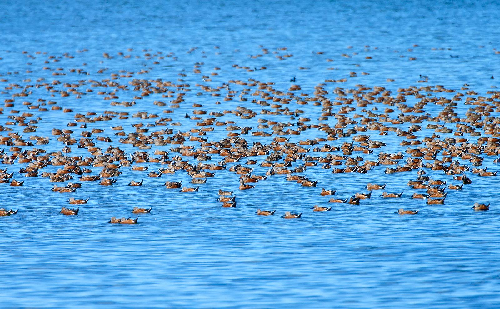 Red Shoveler - part of a flock of c7,500 birds