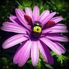 Carpenter bee by Ioannis Ks