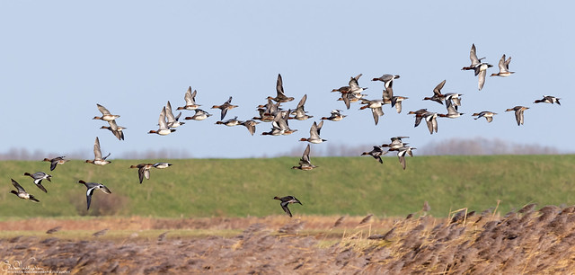 Wigeon on the wing