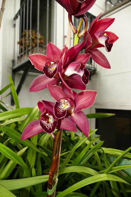 Cymbidium Unknown [c/o Karen] hybrid orchid
