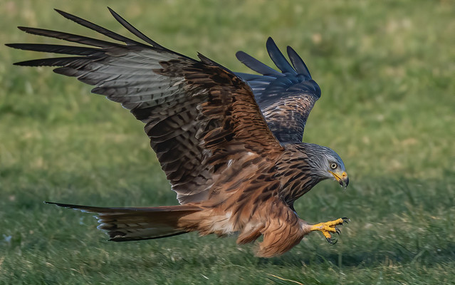 Red kite with talons raised.