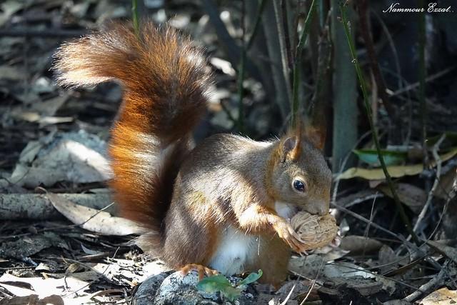 Écureuil roux  Red squirrel Sciurus vulgaris