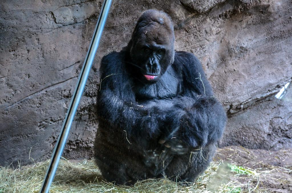 Big gorilla falls AK