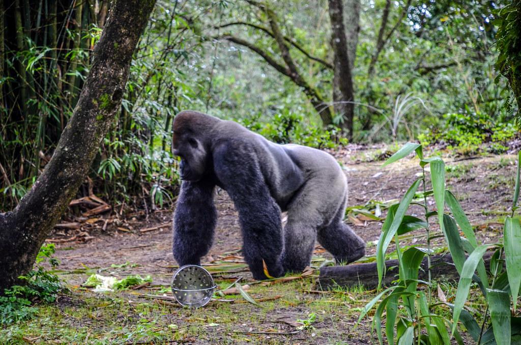 Gorilla walking gorilla falls AK