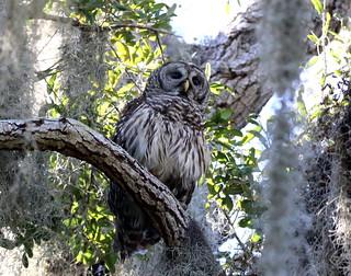 BARRED OWL - Circle B Bar Reserve, Lakeland, Florida