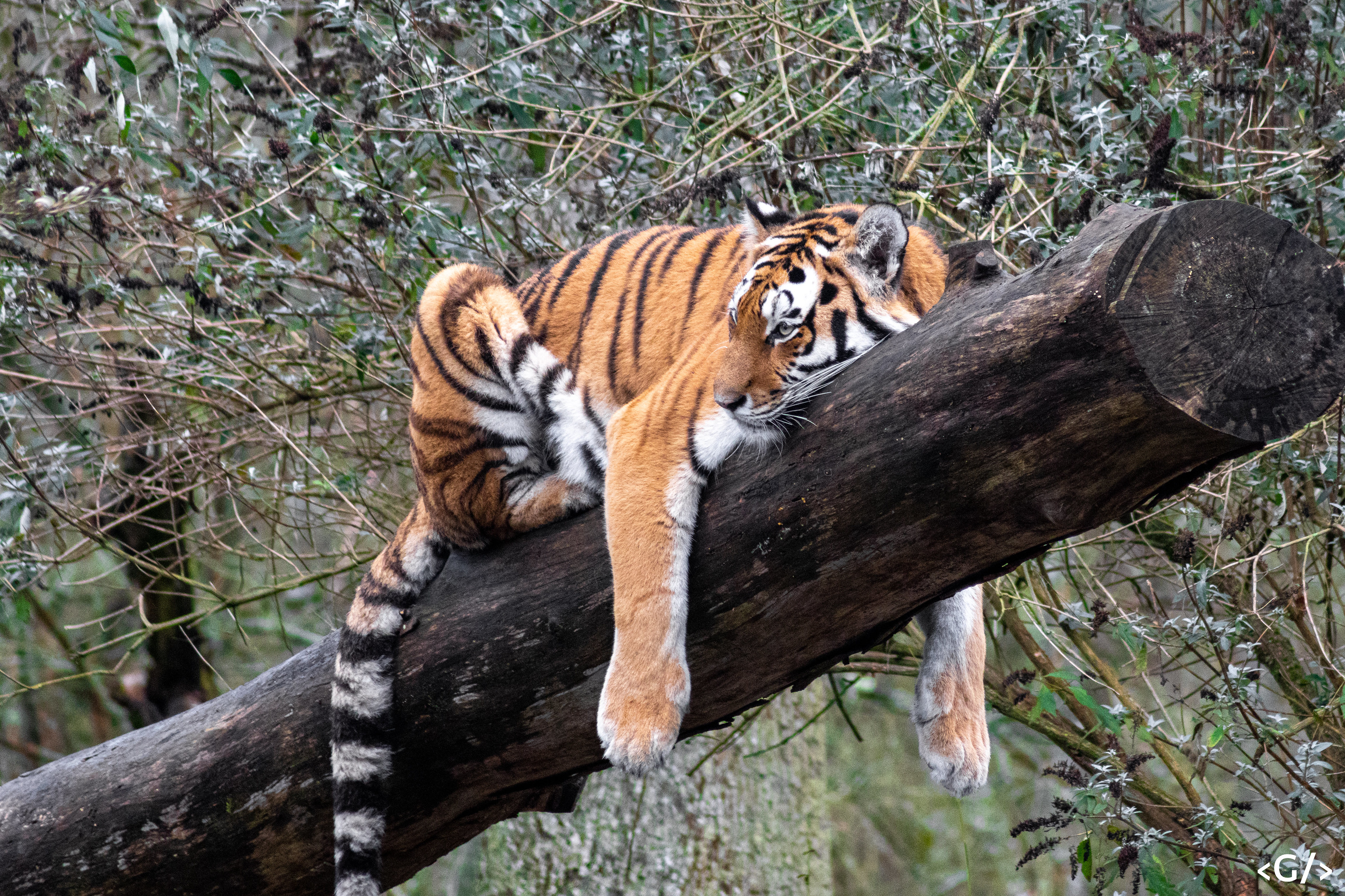 A tiger flumping on a tree