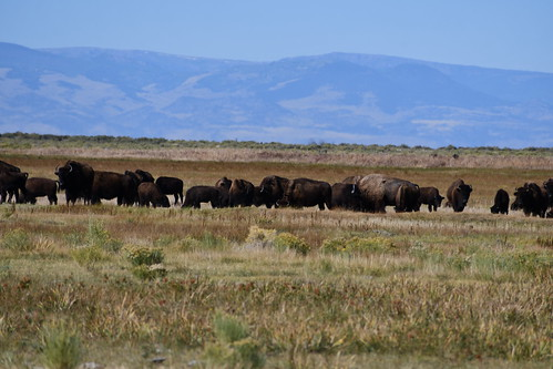 Herd of Bison during Ranch Tour. From History Comes Alive at the Great Sand Dunes National Park