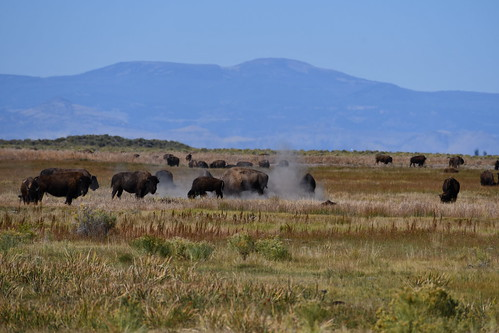Zapata Ranch Bison Wallowing. From History Comes Alive at the Great Sand Dunes National Park