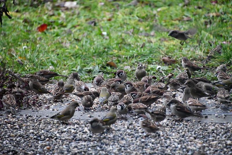 Sparrows 09.12 (2)