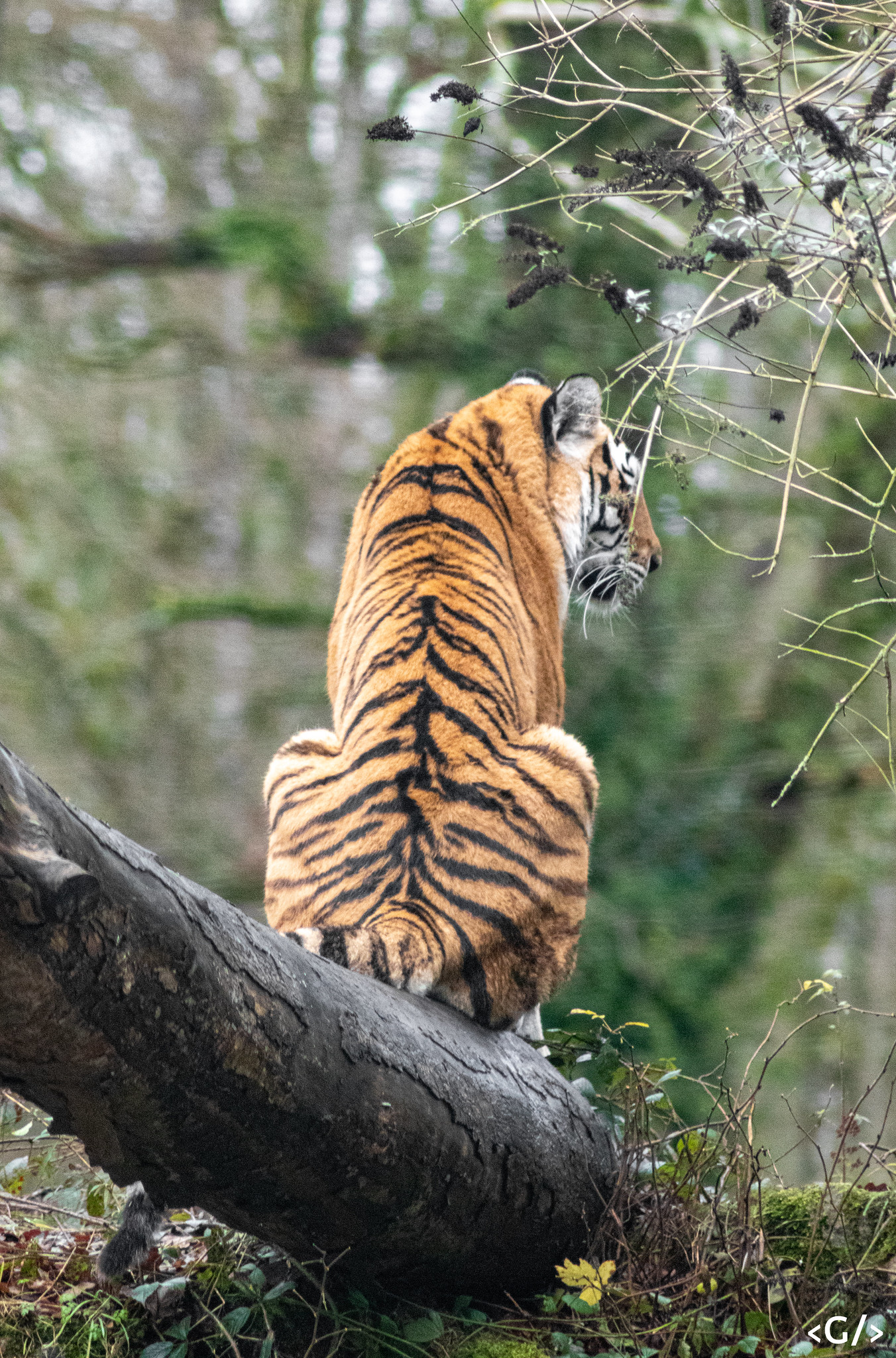 A tiger contemplating something on a tree