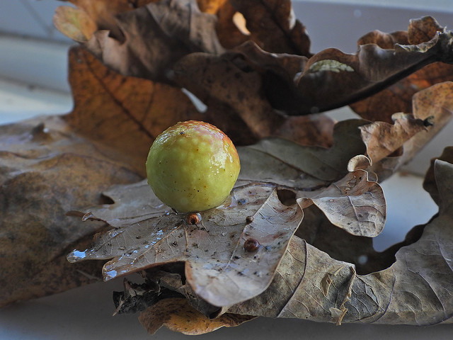 Oak Apple Gall, ArlResvr, Dec 9 2019, P1 (1)
