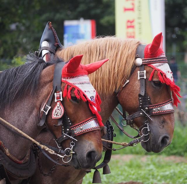 Die Kaltblutpferde von Daniel Hoffmann im Sommer 2019 in Weiterstadt. Eines davon war Deutscher Meister im Gespann-Pflügen und leider inzwischen gestorben.