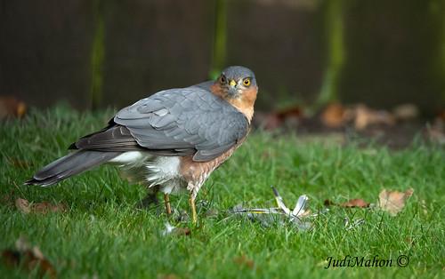 Sparrowhawk-2227
