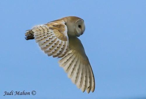 Barn Owl-016